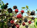 Blackberries (1).jpg