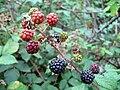 Blackberries Rubus ulmifolius1.jpg
