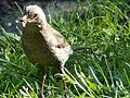 Blackbird - Sashegy.jpg