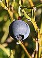 Blaeberry (Vaccinium myrtillus) - geograph.org.uk - 260784.jpg