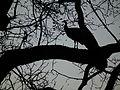 Blauer Pfau auf seinem Schlafbaum.JPG