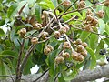 Blepharocarya involucrigera fruits 1.jpg