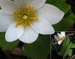 meaning of bloodroot