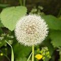 Blooming dandelion (14065420729).jpg