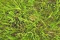 Blue-Winged Teal Nest in Native Prairie Sand Lake WMD (12823826445).jpg