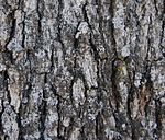 Blue Oak bark.jpg