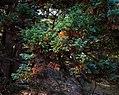 Blue Sawara cypress in New York Botanical Garden (80704).jpg