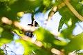 Blue grosbeak (39799407500).jpg