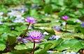 Blue lotus flower.jpg