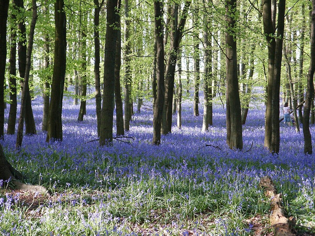 Fleur De Sous Bois Bleue file:bluebells-2005-05-02-1 - wikimedia commons