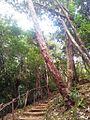Bois Bigaignon - Psiloxylon mauritianum - Ferney Mauritius 2.jpg