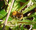 Bombus sp. ( humilis or pascuorum^) - Flickr - gailhampshire.jpg