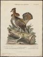Bonasa umbellus - 1700-1880 - Print - Iconographia Zoologica - Special Collections University of Amsterdam - UBA01 IZ17100393.tif