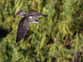 Bonelli's Eagle in flight.jpg
