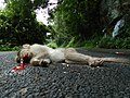 Bonnet macaque roadkill IMG20170921100120.jpg