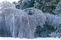 Bough Down On Christmas (11548890435).jpg