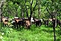 Bovins aux pâturage dans le pâturage naturel de Samiondji (Covè).jpg