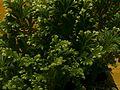 Brachythecium close-up.jpg