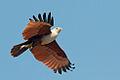 Brahminy-kite.jpg