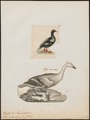 Branta antarctica - 1700-1880 - Print - Iconographia Zoologica - Special Collections University of Amsterdam - UBA01 IZ17600199.tif