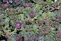 Brassica Nagoya Rose 3zz.jpg