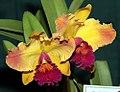 Brassolaeliocattleya Evas Sonrisa Calcicia 0zz.jpg