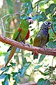 Brazil-01607 - Red-shouldered Macaw & Blue-headed Pionus (48995480542).jpg