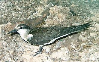 Bridled tern - Image: Bridled tern