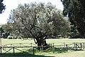 Brijuni, alter Olivenbaum.jpg