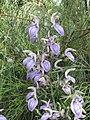 Brillantaisia owariensis -英格蘭 Wisley Gardens, England- (9200884264).jpg