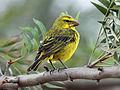 Brimstone Canary RWD1.jpg
