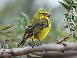 Kleiner gelber breasted Vogel