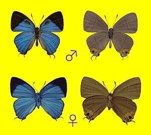 Britomartis (butterfly) - Britomartis igarashii