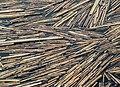 Broken reeds floating in a pond in Barlingbo, Gotland.jpg
