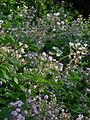 Brombeerblüte (2).jpg