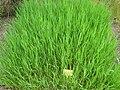 Bromus inermis - Berlin Botanical Garden - IMG 8552.JPG