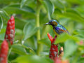 Brown-throated Sunbird 6540.jpg