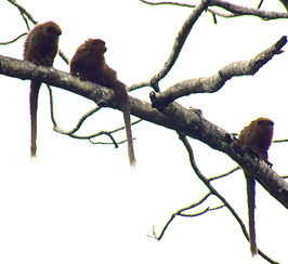 Brown Titi Monkeys.jpg