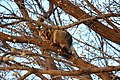 Brushtail possum (trichosurus vulpecula) in afternoon daylight.jpg