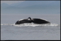Buiobuione british columbia humpback whale 2.tif