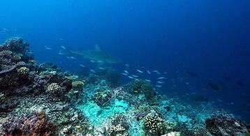 Bull shark at unnamed reef 12-127