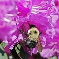 Bumblebee pollinating an azalea (2009).jpg