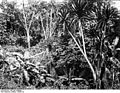 Bundesarchiv Bild 105-DOA0300, Deutsch-Ostafrika, Mahenge, Urwaldbild.jpg