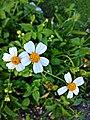 Bunga Daisy Putih.jpg
