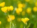 Buttercups (9055730051).jpg