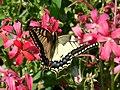 Butterfly (183195947).jpg