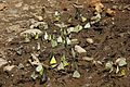 Butterfly Ultapani.jpg