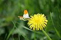 Butterfly in Spring - Flickr - D464-Darren Hall.jpg
