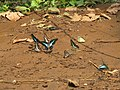 Butterfly mud-puddling at Kottiyoor Wildlife Sanctuary (17).jpg
