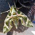 Butterfly on scuba jacket in Sharm el-Naga01b.jpg